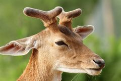 Deer with growing antlers Royalty Free Stock Photography