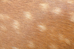 Deer hair texture and background. Close - up Deer hair texture and background Royalty Free Stock Photos