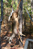 Deer hanging for processing vertical Stock Images