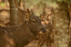 The Deer Have Big Horn royalty free stock photo