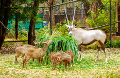 Deer have long horn eating grass  in zoo Stock Photos