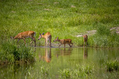Deer having a drink of water Stock Images