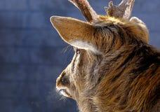Deer head Stock Images