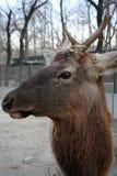 Deer head. View of deer head in the zoo stock photography