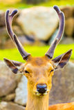 Deer Head Antlers Closeup Face Front Nara Japan Royalty Free Stock Images