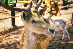 Deer head close up view Stock Photo