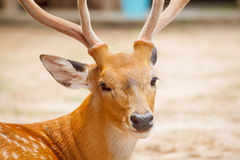 Deer head closeup Royalty Free Stock Photos
