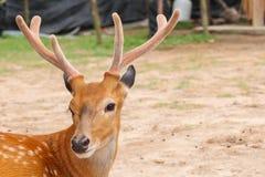 Deer head closeup Stock Photography