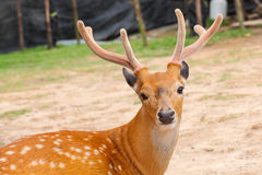 Deer head closeup Stock Photo