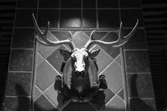 Deer head hanging on the wall, black and white image. Deer head hanging on the wall. it has a pair of big antlers stock image