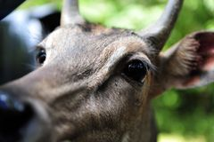 Deer head is looking into the car window royalty free stock photo