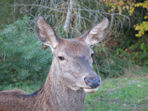 Deer head. Looking into my camera after coming out of the woods stock image