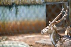 Deer. Head of Male White spot deer Stock Photo