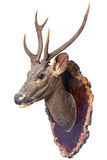 Deer head model. Mounted on wall isolated on white background royalty free stock photography