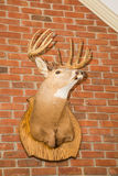 Deer Head Mounted on Brick Wall from Below. Deer head with large rack mounted on brick wall Royalty Free Stock Image