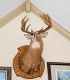 Deer Head Mounted on White Wall. A deer head mounted on a white wall from below Stock Photo
