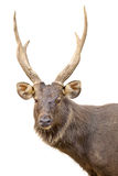 Deer head portrait isolated on white. Background stock photos