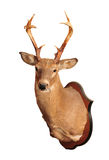 Deer head taxidermy. Mounted on wall  in white background Royalty Free Stock Photos