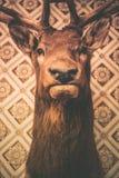 Deer Head Trophy. Adult Deer Head Trophy on the Wall. Hunting Vintage Theme stock image