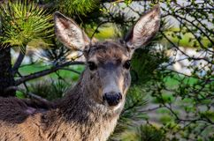 Deer with head turned towards camera. stock photography