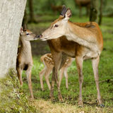 Deer with her fawn. In the forest Royalty Free Stock Photo
