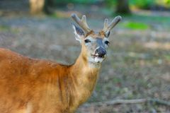 Deer her fawn standing in the woods, wildlife and environment. Deer her fawn standing in the forest, wildlife and environment roebuck capreolus nature animal stock images