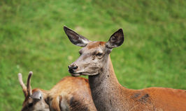 Deer. In her natural habit Stock Photography