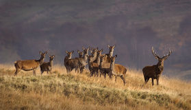 Deer herd Royalty Free Stock Images