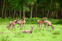 Deer herd Royalty Free Stock Photos