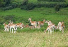 Deer herd. Herd of deer in parkland Royalty Free Stock Image