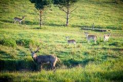 Deer herd Stock Photos