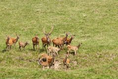 Deer with herd. Grazing in the meadow Royalty Free Stock Photo