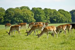 Deer herd Stock Images