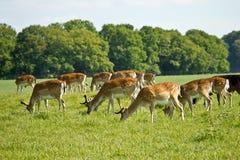 Deer herd Stock Images