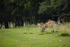 Deer herd Stock Image