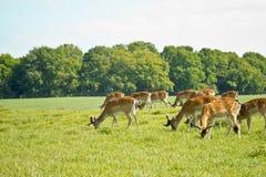 Deer herd Royalty Free Stock Image