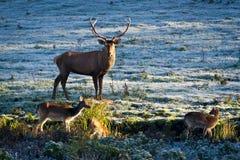 Deer and herd of elk looking at the sunrise stock image