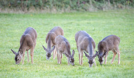 Deer herd, Foothill Park, Palo Alto, CA. USA Royalty Free Stock Image