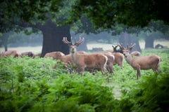 Deer herd in a forest Stock Image