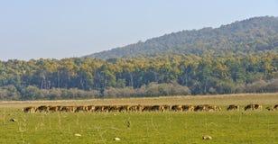 Deer herd Stock Photo