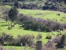 Deer herd grazing Stock Photos