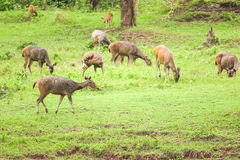 Deer herd in meadow Royalty Free Stock Photo