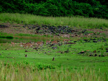 Deer Herd Royalty Free Stock Images