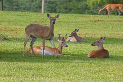 Deer herd Stock Photos