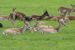 Deer. Herd resting on the lawn Royalty Free Stock Images