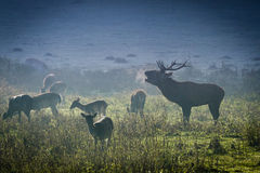 Deer with herd roaring on the meadow Stock Image
