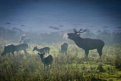 Deer with herd roaring on the meadow stock image