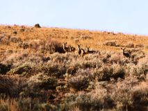 Deer Herd Royalty Free Stock Photography
