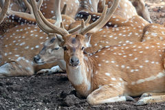 Deer herd Royalty Free Stock Photo
