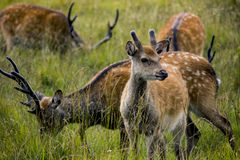 Deer herd. A young deer looking out in the distance Royalty Free Stock Image